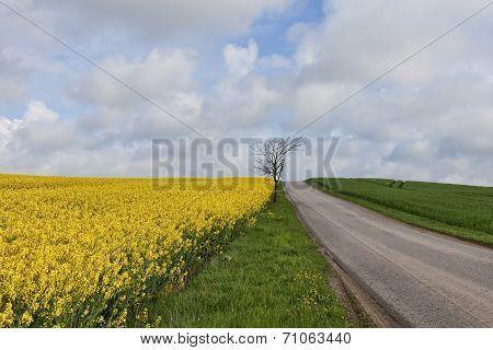Rape Field At A Small Road