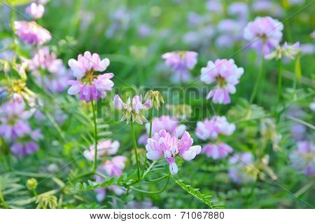 Astragalus Circassicus Flowers On Meadow