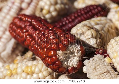 White and red raw corncobs