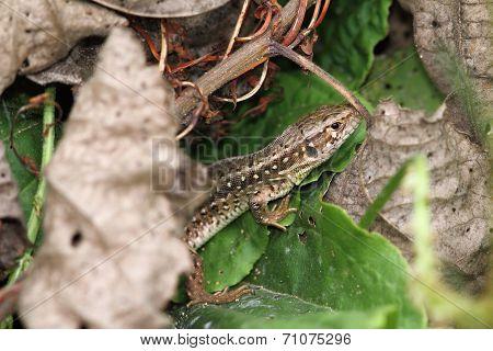 Closeup Of A Sand Lizard