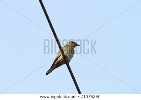 European Roller On Electric Wire