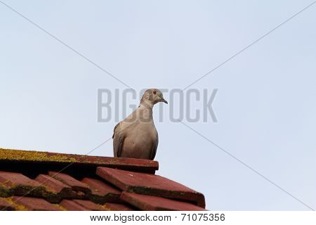 Eurasian Collared Dove On Chimney