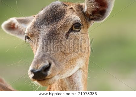 Female Fallow Deer Face