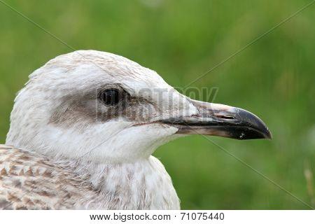 Juvenile Herring Gull Portrait