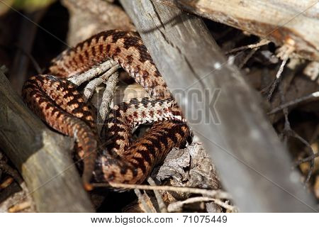 Male Berus Adder
