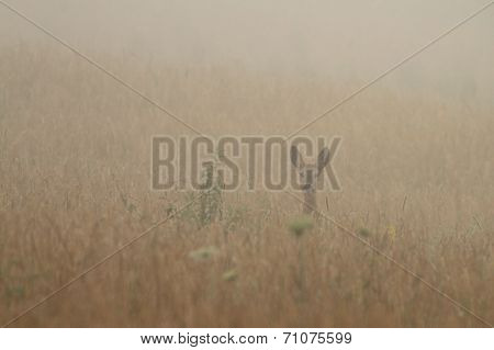 Roe Deer In The Morning Fog