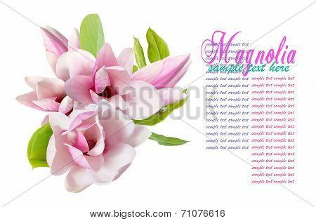 Two Magnolia Flowers