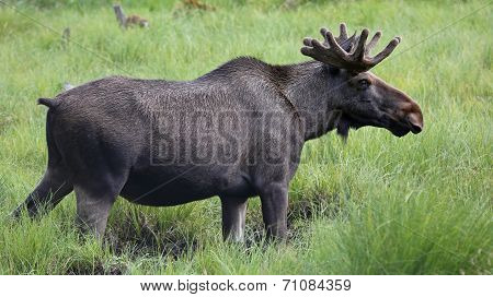 Moose bull (Alces alces) in wilderness