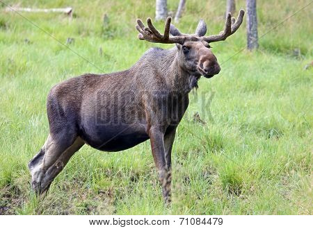 Portrait of a Moose bull