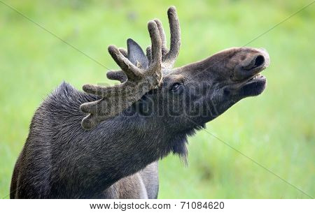 Portrait of a roaring Moose bull