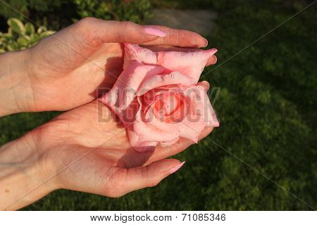 A girl holds pink rose flower with drops of water by hands with beautiful manicure in a dacha garden