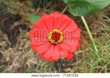 A beautiful red flower in a dacha garden