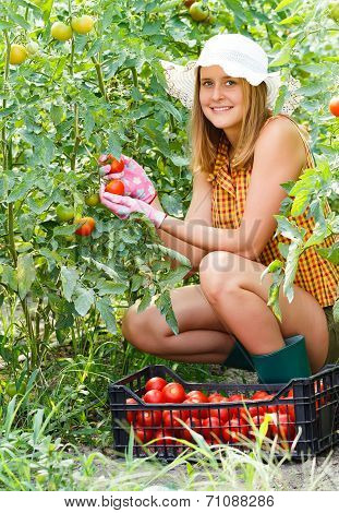 Woman Harvesting Tomatoes