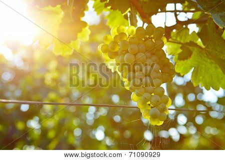 Vineyards At Sunset In Autumn Harvest