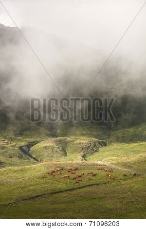 Brown Cows Grazing In Beautiful Mountain Landscape