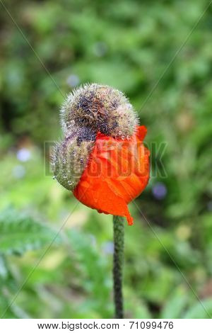 Poppy Bud Bursting Out