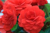 stock photo of begonias  - Tuberous begonia flowers - JPG