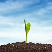 foto of cultivation  - Young corn plant sprout growing from the ground - JPG