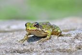 picture of baby frog  - Edible frog  - JPG