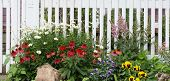 pic of viola  - A jumble of daisies red coneflowers violas astilbes and yellow pansies in front of an old fashioned white wooden fence - JPG