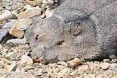 picture of javelina  - Two javelinas enjoying a afternoon nap together - JPG