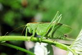 stock photo of locusts  - Green locust on raspberry leaf on garden background - JPG