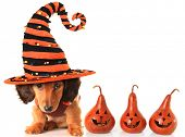 image of witch  - Longhair dachshund puppy - JPG