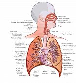 foto of pipe organ  - Vector medical illustration of human Lungs and Respiratory System - JPG