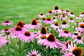 image of black-eyed susans  - a lot Pink black eyes susan in garden - JPG