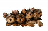 image of yorkshire terrier  - Four lovely and funny yorkshire puppies isolated on white - JPG