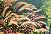 stock photo of fountain grass  - Fountain grass long stems beautiful fluffy brush in the summer garden.