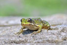 stock photo of baby frog  - Edible frog  - JPG