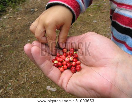 Sharing lingonberry