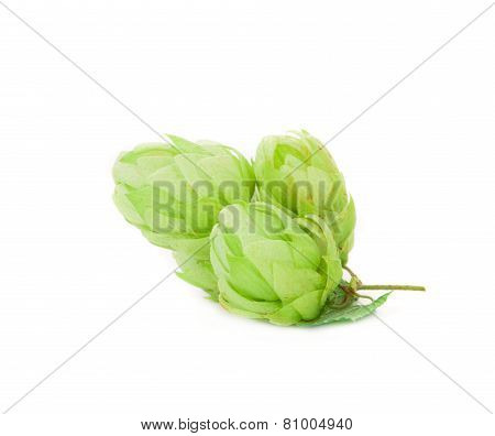 Hop flower green petals.