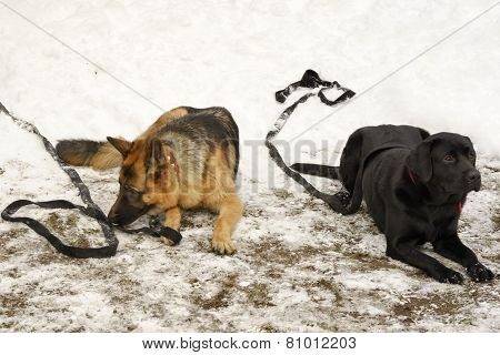 Two Big Dogs Laying On The Snow