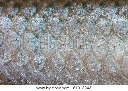 Arowana Scale