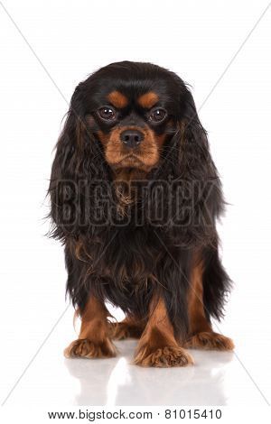 black cavalier king charles spaniel dog