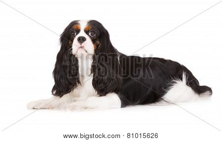 adorable cavalier king charles spaniel dog