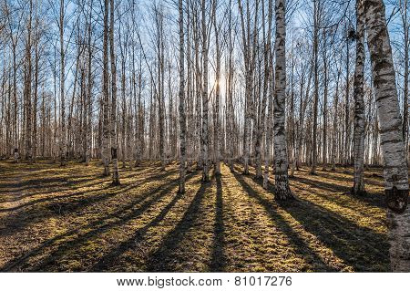 Birch Wood In The Spring