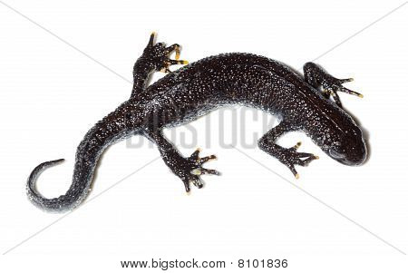 Triturus Cristatus, Great Crested Newt