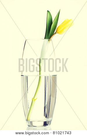 One separated yellow tulip flower in wase with water.