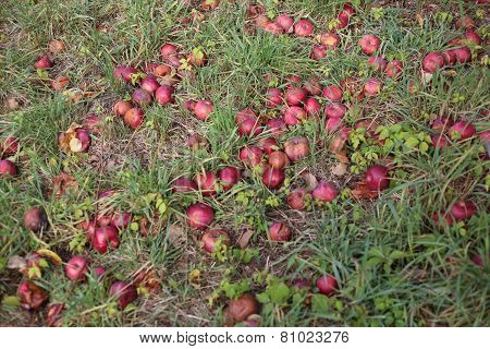 Apples on the Ground