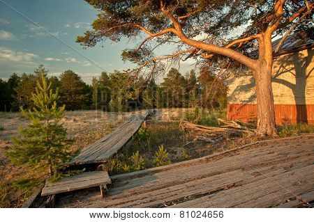 Big pine tree at sunset