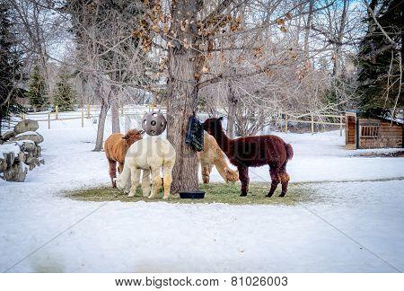 Alpacas feeding