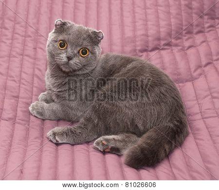 Scottish Fold Cat Sitting On Pink