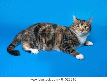 Tricolor Cat Lying On Blue