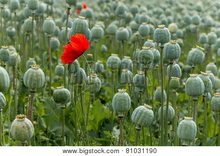 Papaver Field Single Poppy Flower