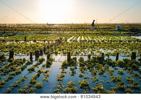 Algae Farm Field In Indonesia