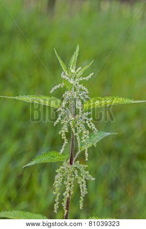 Nettle Herb In Bloom