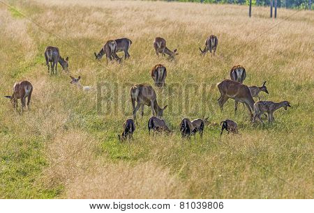 Herd Of Dear With Calves